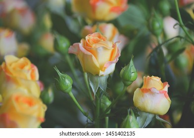 Tender pink and yellow roses in vsco style