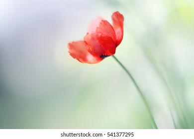 Tender poppy flower (Papaver) in the sun. - Shutterstock ID 541377295