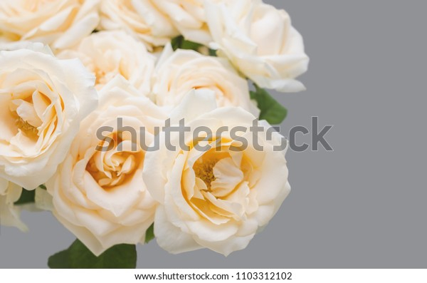 tender rose on a grey bacground
