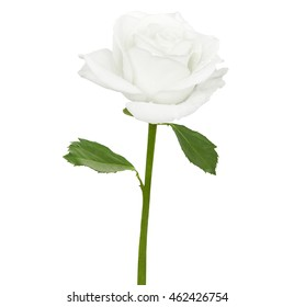 Tender rwhite rose isolated on a white background