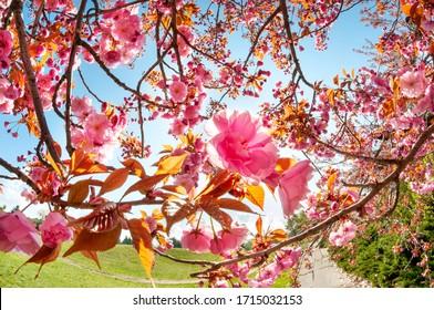 Tender sakura flowers in the sunny park. Amazing springtime scene. Spring postcard