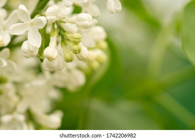 Tender spring flowers and buds  of a white lilac macro shot. The area on the right is light green and blurry.