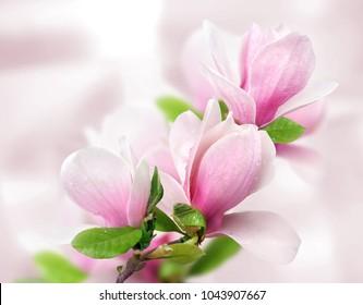 tender spring pink magnolia flowers