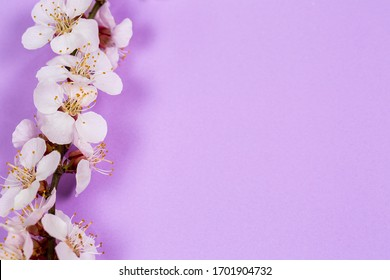 Tender twig with white flowers of spring on a purple background
