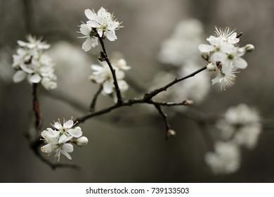 Tender white blackthorn blossoms in the spring.