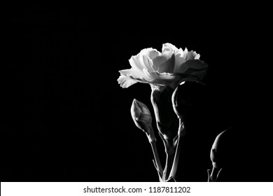 Tender White Carnation flower on black background with copy space. Black and white image