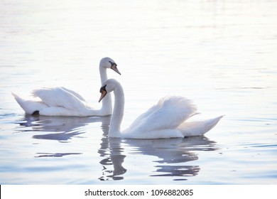 Tender White Swans are Swimming Together on the calm river Danube in Belgrade.