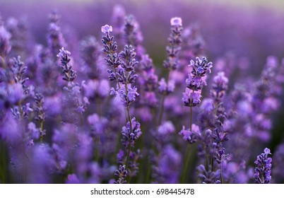 Tenderness of lavender fields. Moldova