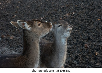 Tenderness. A pair of deer closeup.