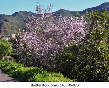 Tenerife to almond blossom in early February. A flowering almond tree surrounded by green mountains and meadows in the Teno Mountains.