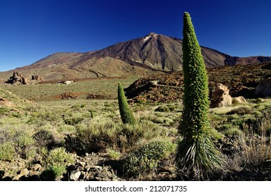 Tenerife bugloss on the slopes of mount Teide