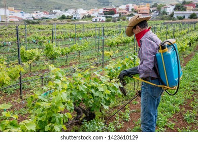 Tenerife, Canary islands - april 22, 2019: Operator working on a grape crop in the fields of the village of Tegueste