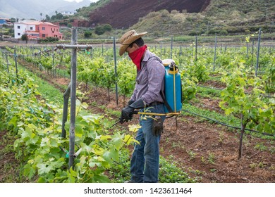 Tenerife, Canary islands - april 22, 2019: Man fumigating a crop of grapes in the fields of the village of Tegueste
