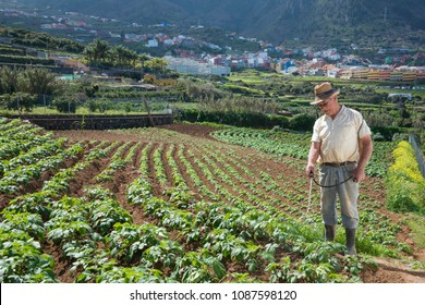 Tenerife, Canary islands - february 20, 2018: Peasant working in a potato plantation on the outskirts of the town of Los Realejos