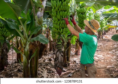 Tenerife, Canary islands - October 15, 2018: Manager inspecting a bunch of bananas, in an ecological plantation in the south of the island