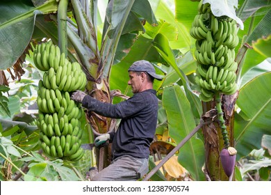 Tenerife, Canary islands - October 15, 2018: Worker unraveled bananas, in an ecological plantation in the south of the island