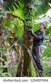 Tenerife, Canary islands - October 17, 2018: Worker deflowering clusters of bananas inside a plantation in the south of the island