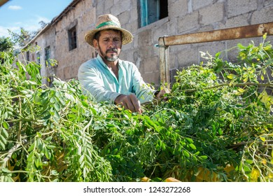 Tenerife, Canary islands - October 18, 2018: Farmer carrying moringa plants in an agricultural transport cart, on a farm in the south of the island