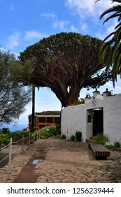 TENERIFE, CANARY ISLANDS, SPAIN - APRIL 04: Oldest dragon tree in village Icon de los Vinos, landmark and toursit attraction, on April 04, 2018 in Tenerife, Spain
