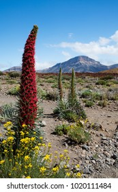 Tenerife landscape with flower Echium wildpretii also know as tower of jewels red bugloss Tenerife bugloss or Mount Teide bugloss. Image from Teide national park Canary Islands Spain.