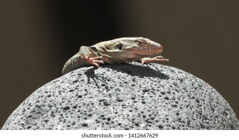 Tenerife lizard is basking in the morning sun on egg shape volcanic lava stone. Lizard close up, macro, natural background.