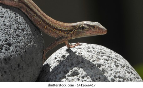 Tenerife lizard (Gallotia galloti, female) is posing on egg shape lava stones. Lizard close up, macro, natural background.