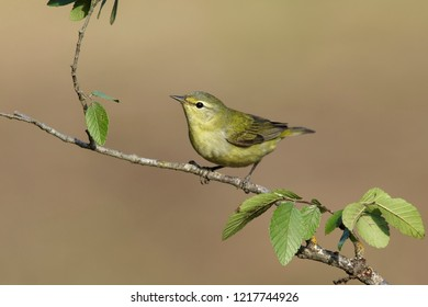 Tennessee Warbler, Oreothlypis peregrina