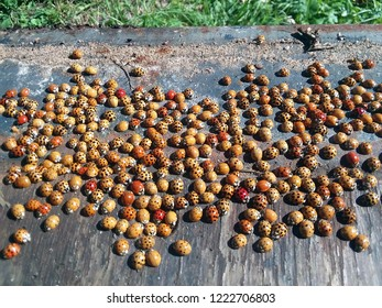 Tens of ladybug beetles (coccinellidae) on a wooden surface on a sunny day. Grass in the background. Orange and red ladybugs with different dot combinations (probably a hibernating colony).