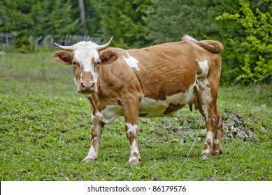 Tense and beautiful cow on the grass