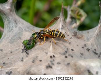 Tent caterpillar nest aka Lackey moth caterpillars, Malacosoma neustria, attacked by paper wasp,Polistes dominula. Insect predation. Macro detail.