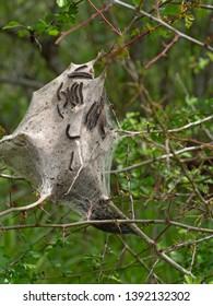 Tent caterpillar nest aka Lackey moth caterpillars. Malacosoma neustria. On Prunus spinosa twig.