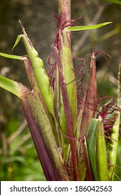 Teosinte (Zea mexicana), Plant progenitor of maize grown in South America