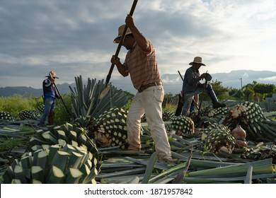 Tequila, Jalisco, Mexico - August 15, 2020: Farmers are working on cutting the agave plant to make tequila.