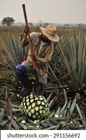 Tequila, Jalisco, Mexico : October. 11. 2013: farmers harvesting the blue agave for Tequila production, town of Tequila, Jalisco, Mexico