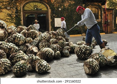 Tequila, Jalisco, Mexico : October. 8. 2013: workers cutting agave at Jose Cuervo tequila distillery, the leading company of Tequila, town of Tequila, Jalisco, Mexico