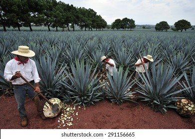 Tequila, Jalisco, Mexico : October.11. 2013: Farmer harvesting the blue agave for Tequila production, town of Tequila, Jalisco, Mexico