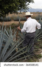 TEQUILA, MEXICO - January 1 2015 - Unidentified man harvest agave near of Santiago de Tequila.There is lot of visitor-friendly distillery tastings and tours in Jalisco.