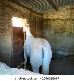 Tequila, Mexico - October 29 2019: Rear view tail of young white horse mare inside stable, looking outside through the window.
