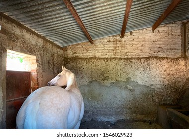 Tequila, Mexico - October 29 2019: Young white horse mare inside stable, looking at the window with curious gaze