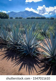 Tequila, Mexico - October 29 2019: Blue agave tequilana weber plantation field. Healthy agave plants
