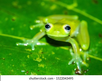 Teratohyla spinosa glass frog (spiny cochran frog) of the family of centrolenidae on a green leaf in the jungle of Costa Rica. Found in the jungle of Sarapiqui.