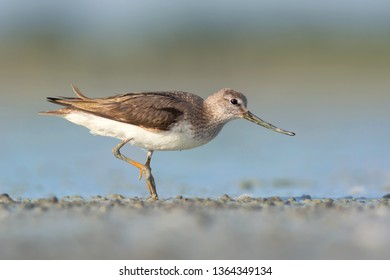 The Terek sandpiper (Xenus cinereus) is a small migratory Palearctic wader species. Photo was taken in Ukraine
