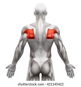 Teres Major Minor Infraspinatus Supraspinatus - Anatomy Muscles isolated on white - 3D illustration