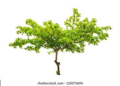 Terminalia catappa also known as Tropical almond, Bengal almond, Indian almond, Sea almond, Beach almond, tropical tree in the northeast of Thailand isolated on white background