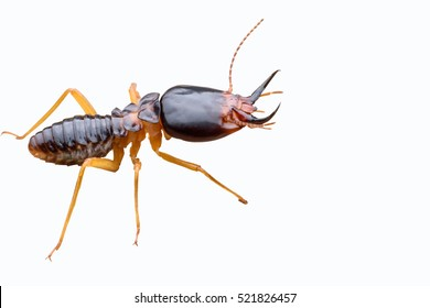 Termite isolated on white background