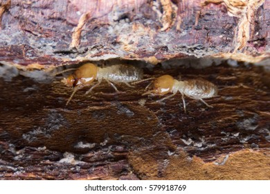 Termite ,Termites eat wood like an animal in the house