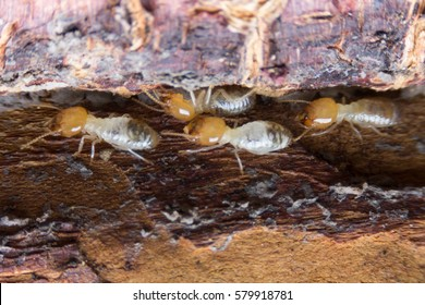 Termite, Termites eat wood like an animal in the house