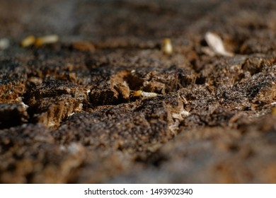 Termite Workers, Small termites, Dry-Wood Termites on the old wood rotting