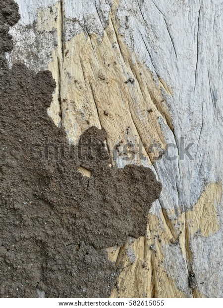 Termites eat wood board is damages for house structure