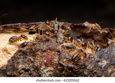 Termites are insects that are living in society. Often live together in a large group within the nesting habits in general. Like a dark and damp